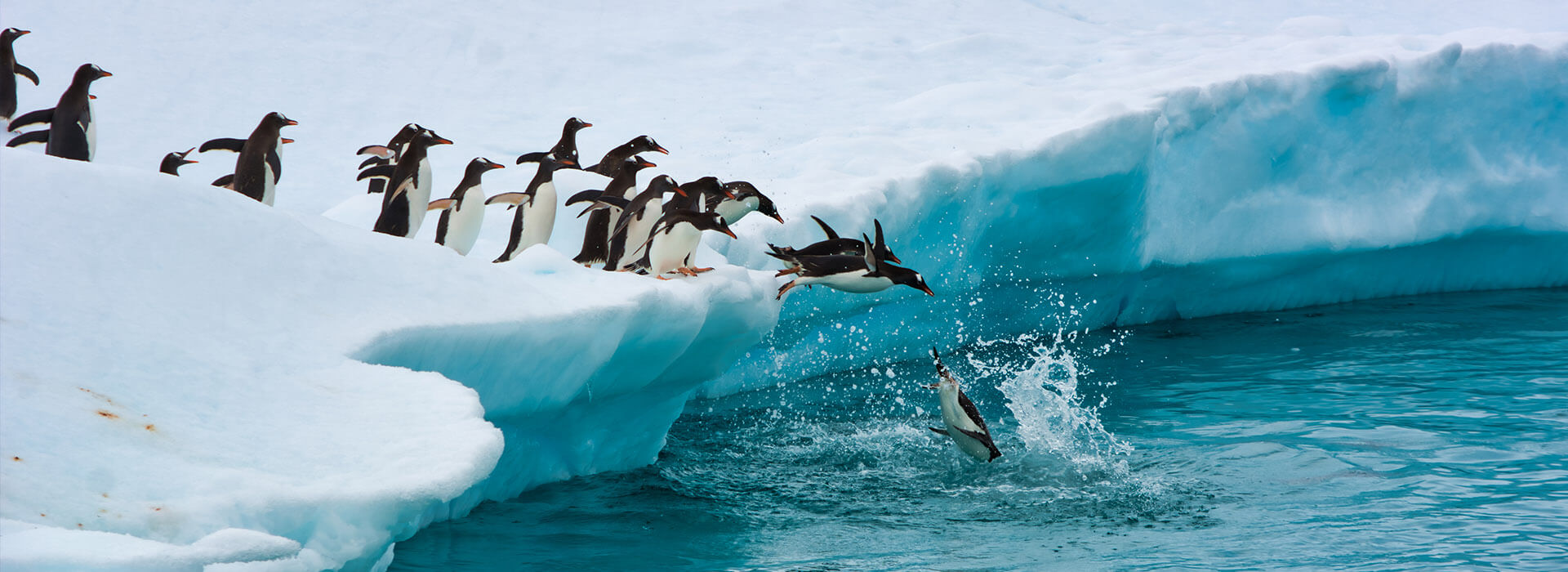 penguins jumping into water